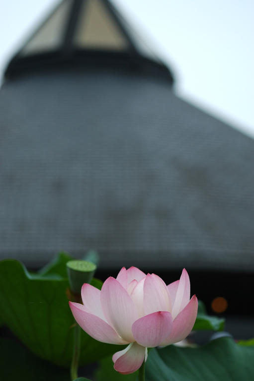 lotus IV