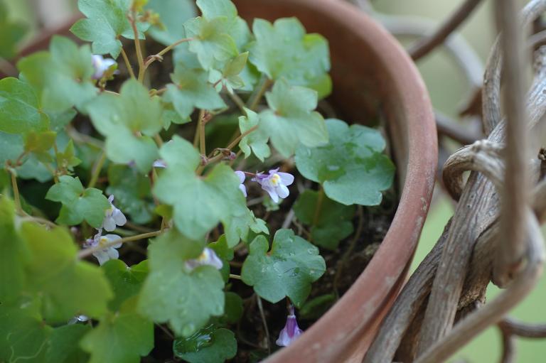 紫鷺苔 (むらさきさぎごけ)
