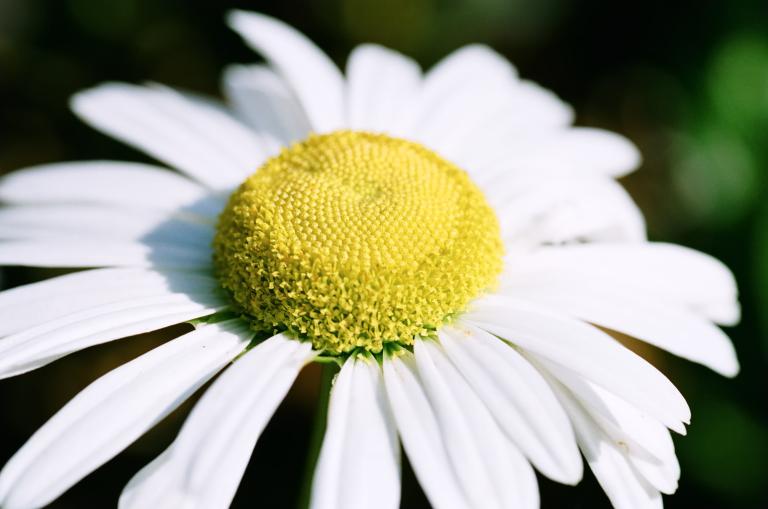 白い花のアップ(F80D + SUPERIA 100)