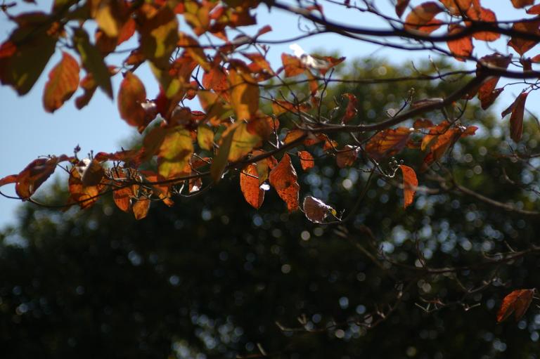 赤くなってきた葉