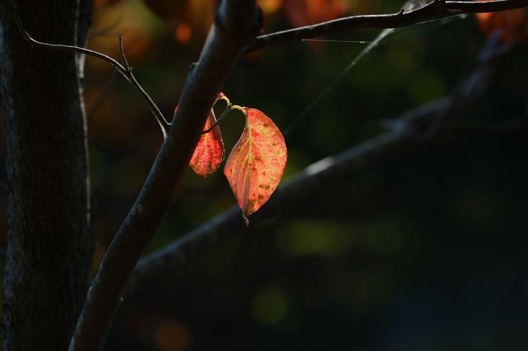 同じ赤い葉(その3)