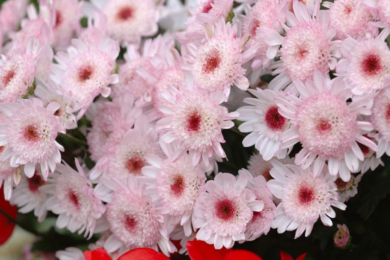 ピンクの菊?