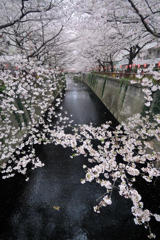 目黒川でお花見 2