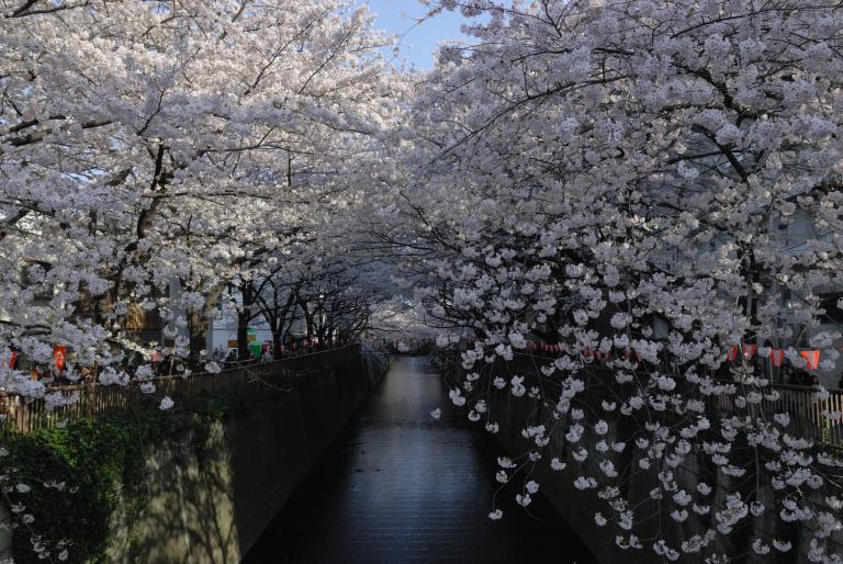 目黒川でお花見 1
