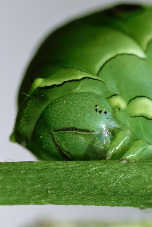 アゲハチョウの幼虫(もっとマクロ)