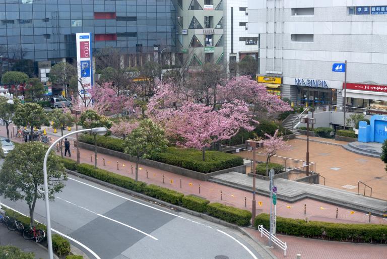 JUSCOの河津桜