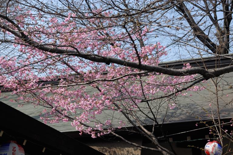 早咲きの桜など 靖国神社スナップ 1/12