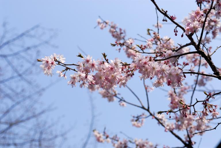 早咲きの桜など 靖国神社スナップ 9,10,11/12