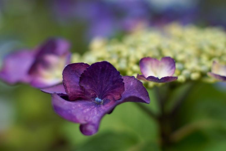 萼紫陽花 +