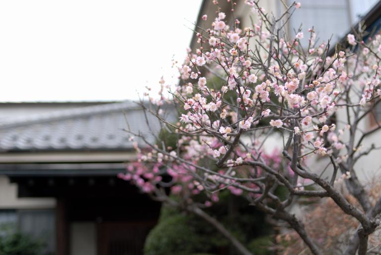 魚屋さんの隣の家に咲く梅