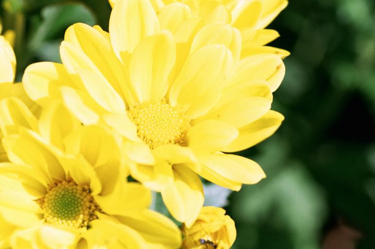 黄色い花:+1EVの必要なし (F80D + SUPERIA 100)