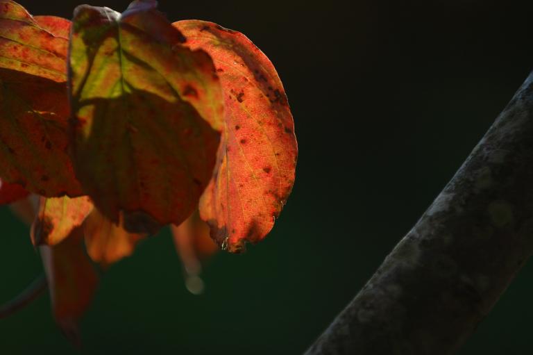 再び赤い葉