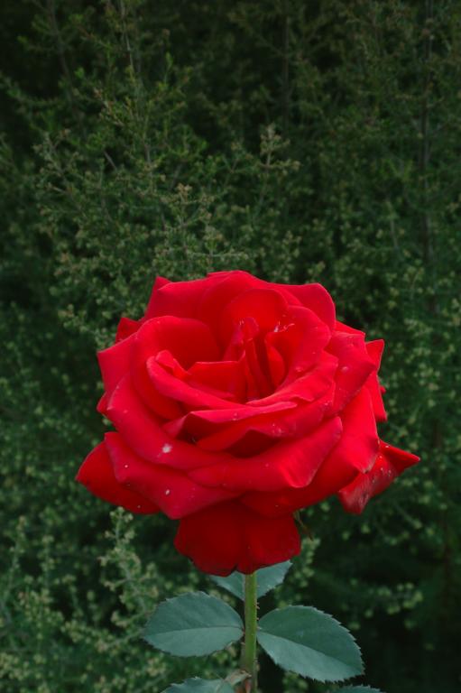バラ ( another red XLVIII )