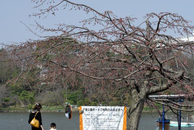 開花直前 千葉公園の桜
