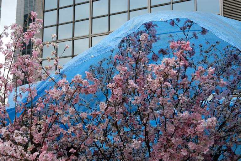 もう桜???