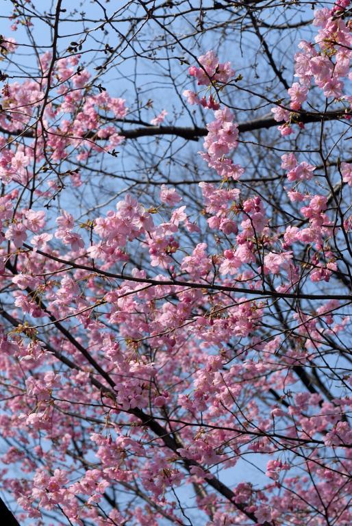 早咲きの桜など 靖国神社スナップ 2/12