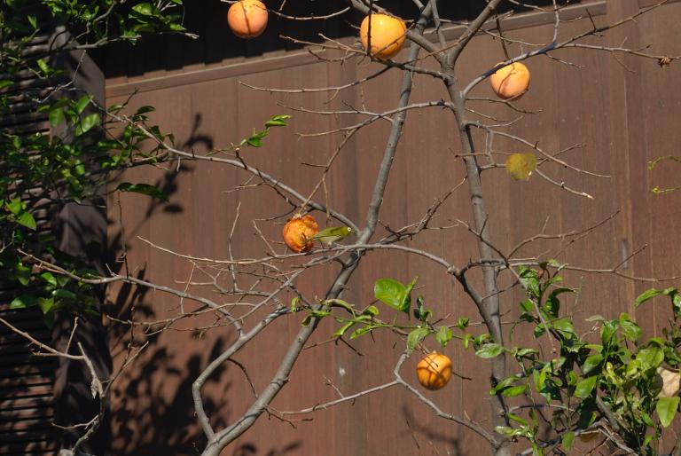s n a p ( 柿とメジロ )