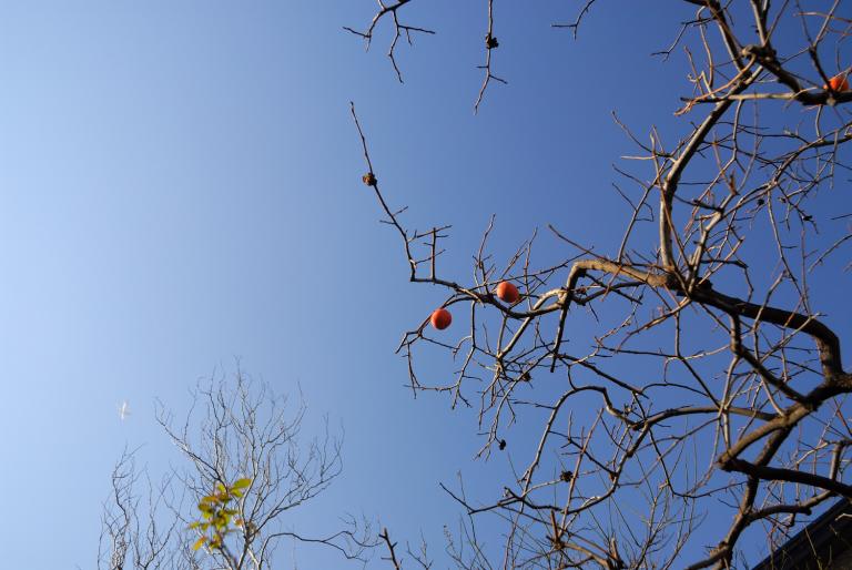 s n a p ( 柿の木 )