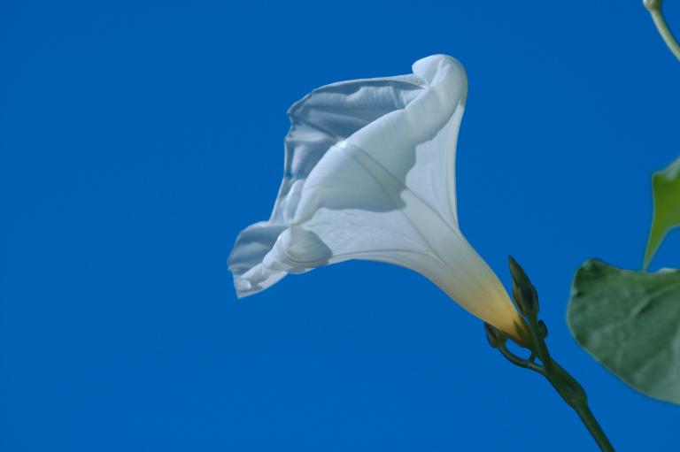 白い朝顔の花