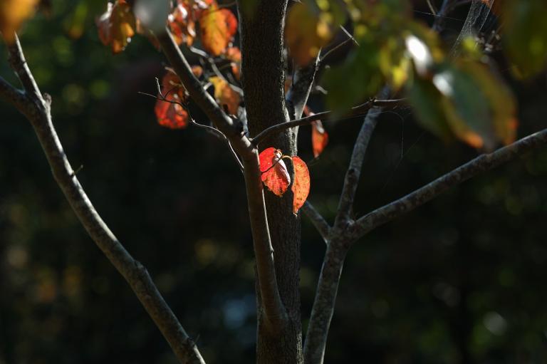 同じ赤い葉(その1)