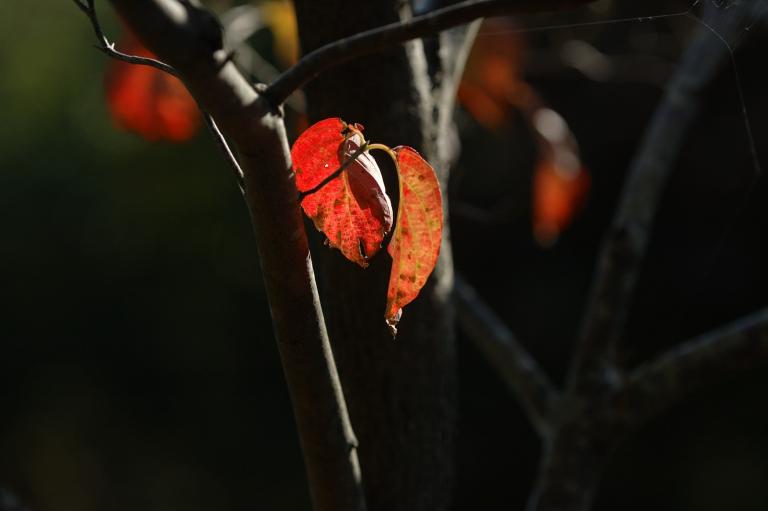 同じ赤い葉(その2)
