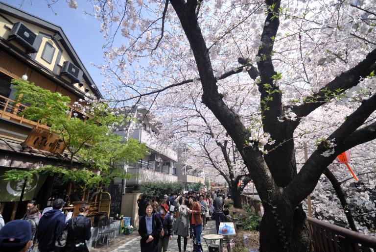 目黒川でお花見 3