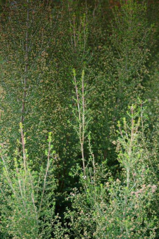 小さい葉の植物