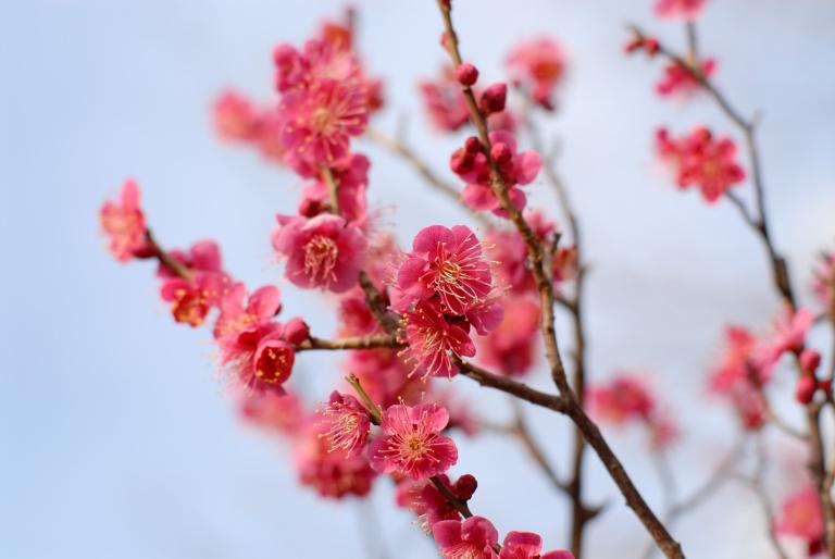 春が来たじょ~ 梅 ( Ai Nikkor 50mm F1.2S )