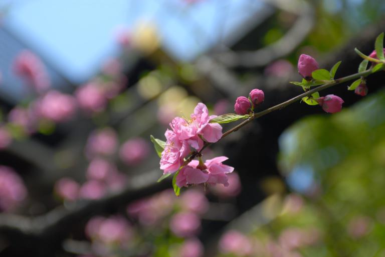 早咲きの桜など 靖国神社スナップ 6,7/12