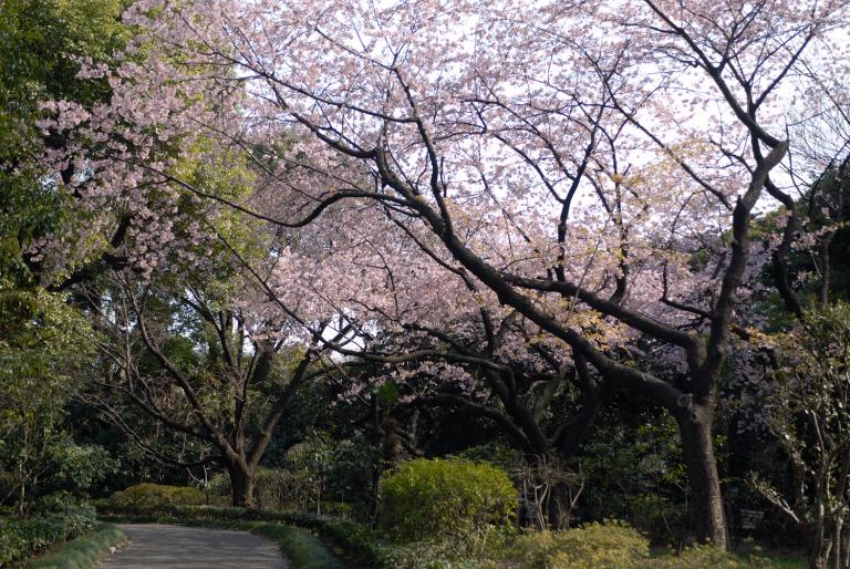 満開の桜 (3月21日都内某所)
