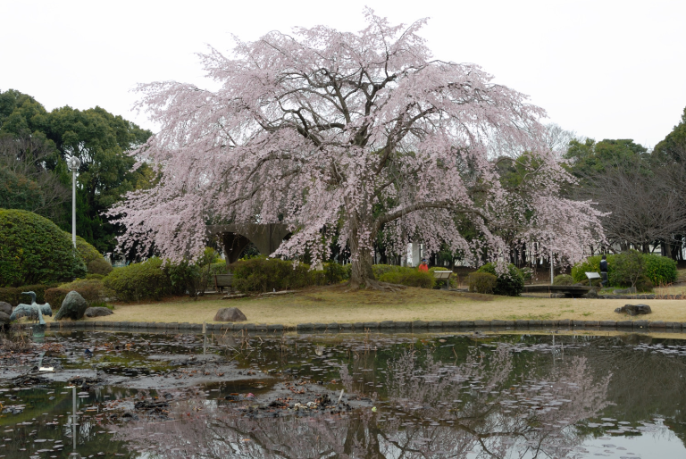 みなと公園の桜