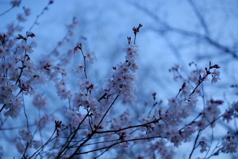 s n a p ( 早咲きの桜 )