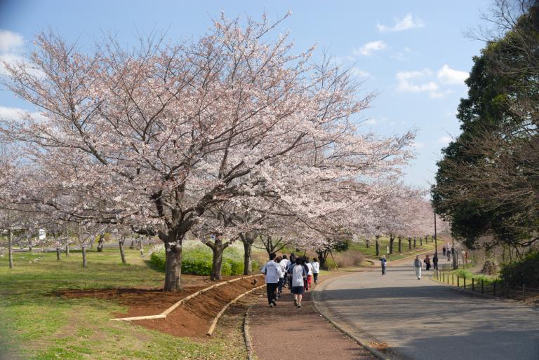 s n a p ( 青葉の森公園の桜 )