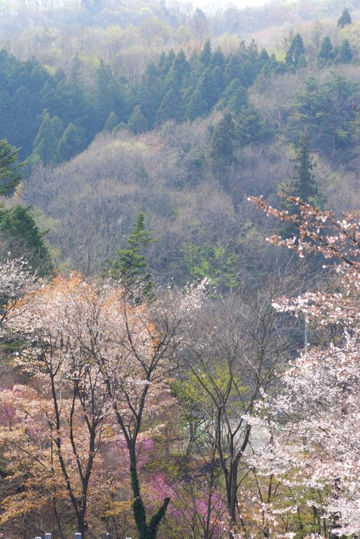 s n a p ( 桜 )
