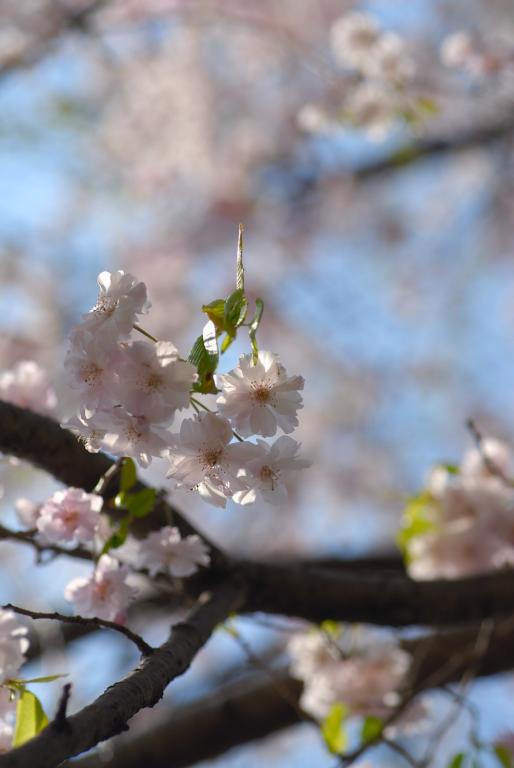 s n a p ( 桜 ) まだまだ楽しめる